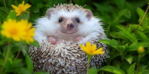 Ross-on-Wye Hedgehog